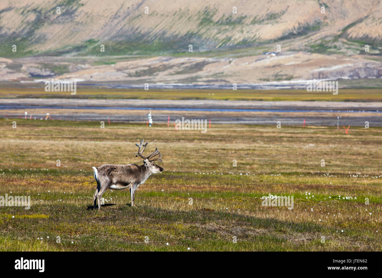Svalbard reindeer standing on the tundra in summer at Svalbard - Stock Image