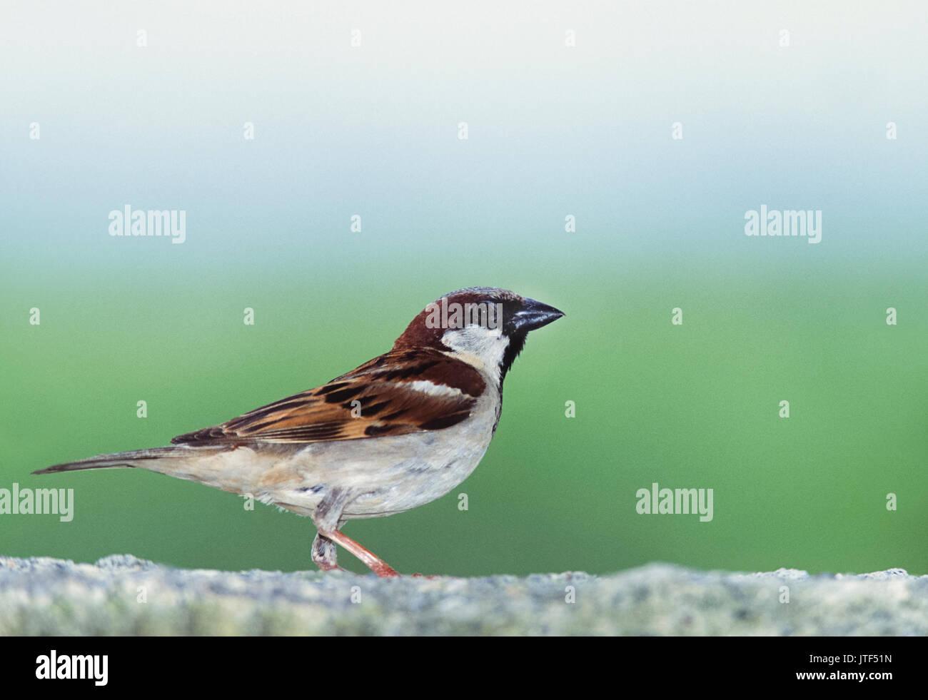 House sparrow, (Passer domesticus), Keoladeo Ghana National Park, Bharatpur, Rajasthan, India - Stock Image
