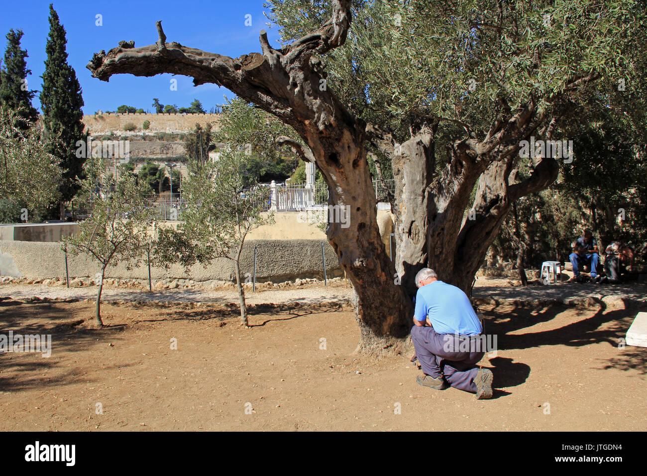 JERUSALEM, ISRAEL - OCTOBER 25, 2013:  Older man kneeling and bowing to pray in the Garden of Gethsemane in Jerusalem, Israel. - Stock Image