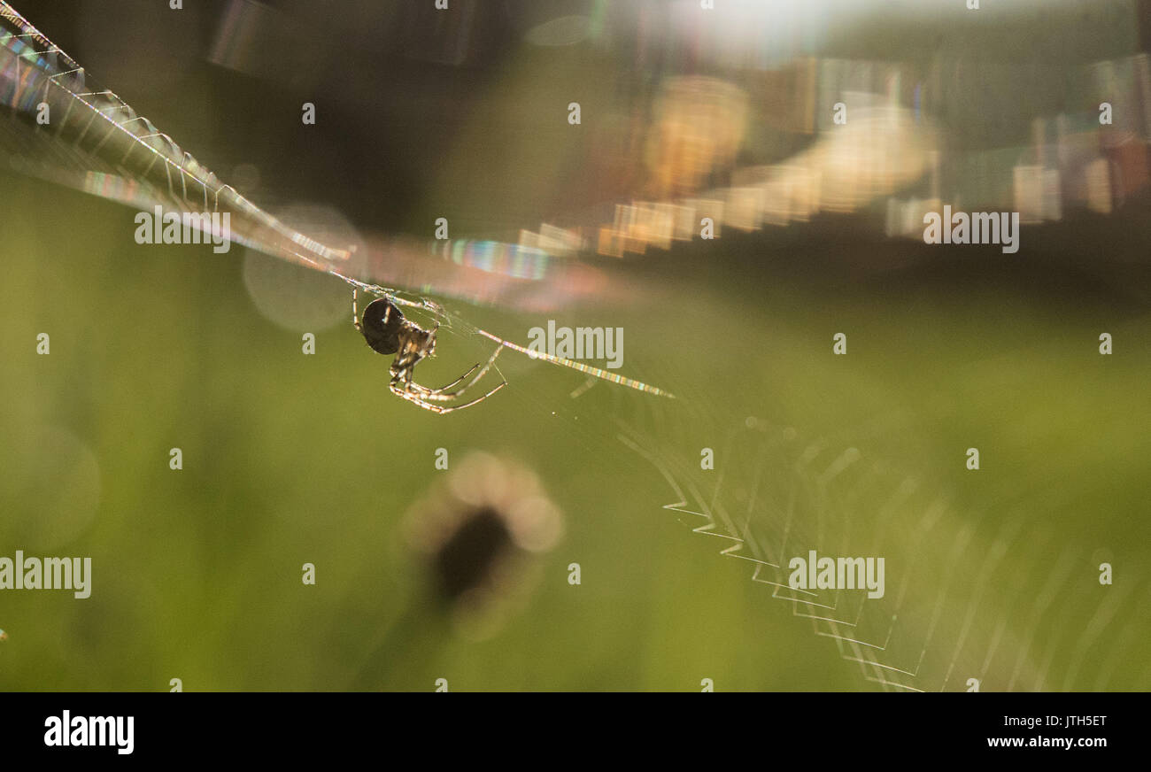 Enzberg, Germany. 9th Aug, 2017. A spider in its web is illuminated by the morning sun in Enzberg, Germany, 9 August 2017. Photo: Sebastian Gollnow/dpa/Alamy Live News - Stock Image