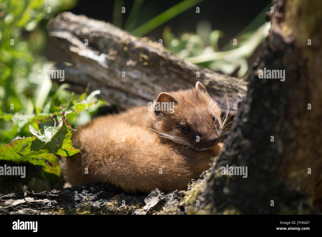 Least Weasel (Mustela nivalis) Stock Photo