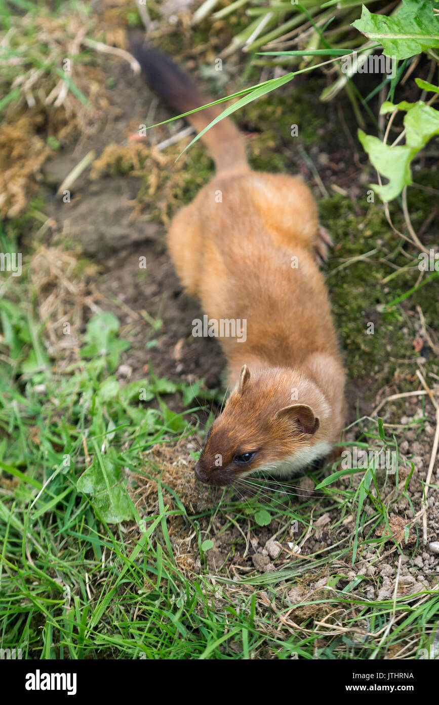Least Weasel (Mustela nivalis) Stock Photo