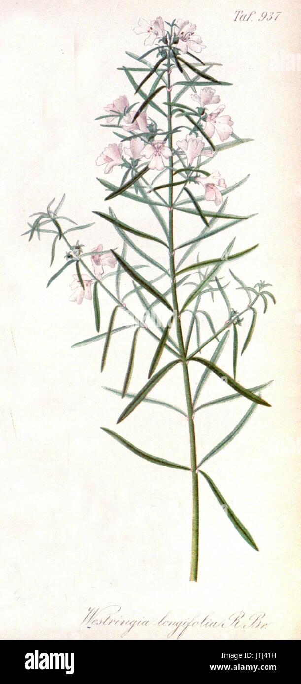 Westringia longifolia   Gartenflora   E. von Regel - Stock Image