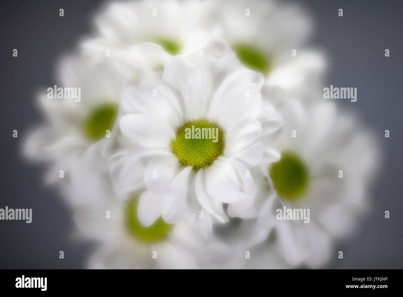 Soft focus white and green daisis - Stock Image