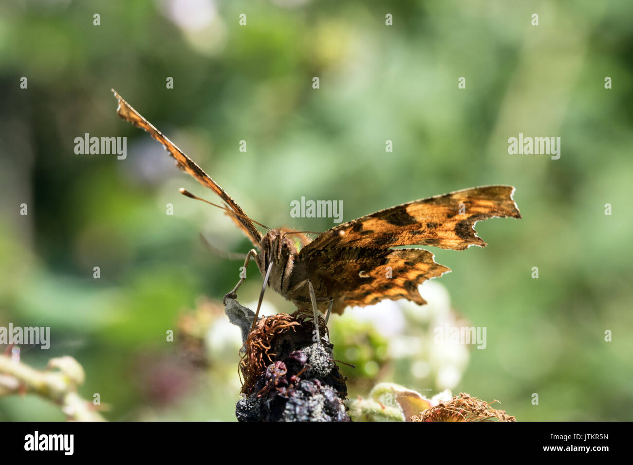 Comma butterfly (Polygonia c-album) feeding on blackberry. Stock Photo