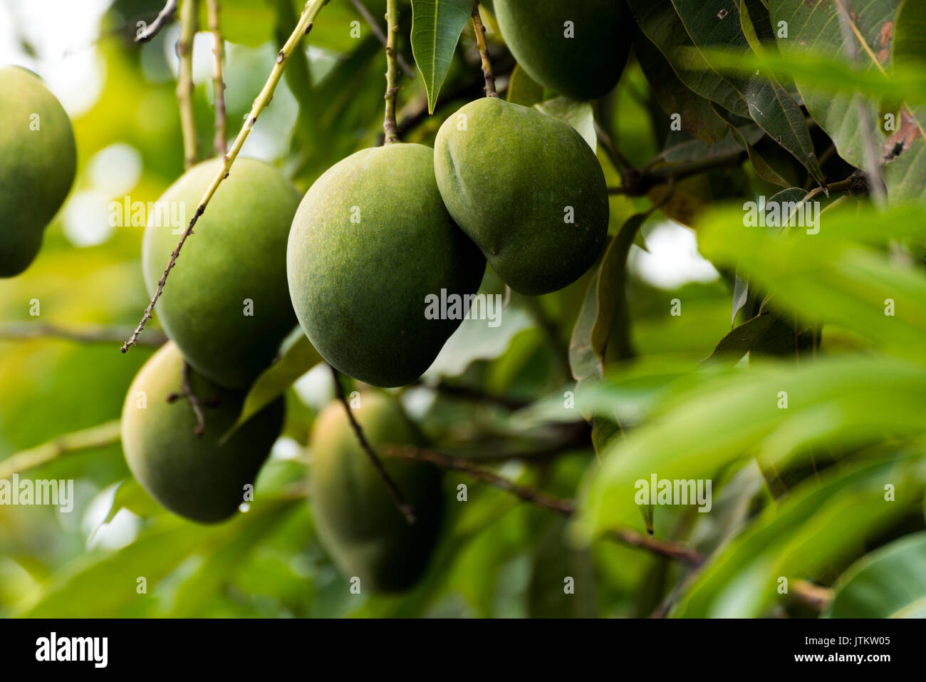 how to know when a green mango is ripe