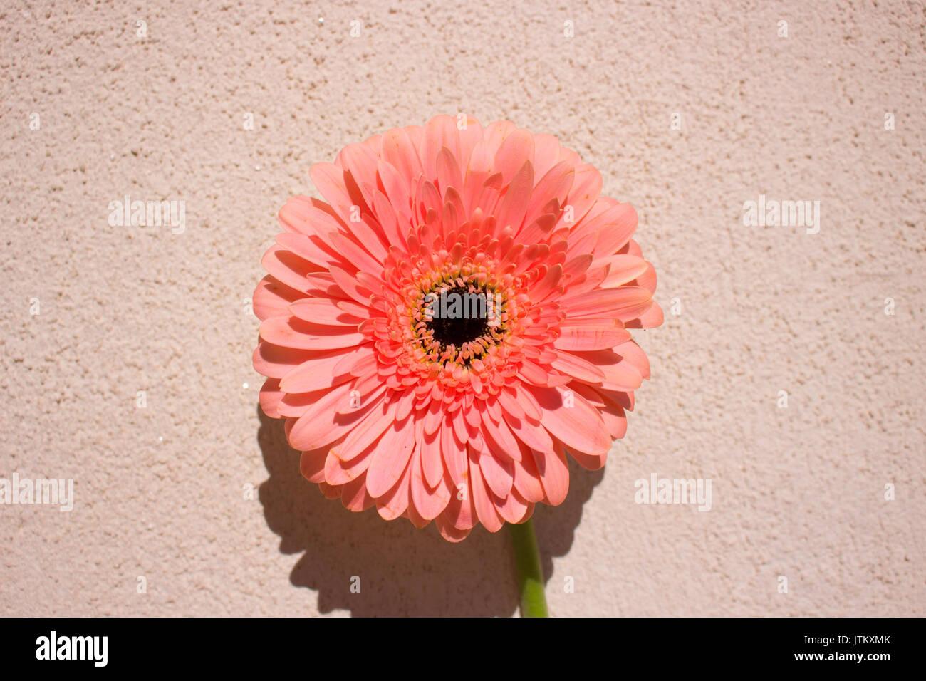 Gerber. Beautiful flower peach color. Summer decoration Stock Photo ...