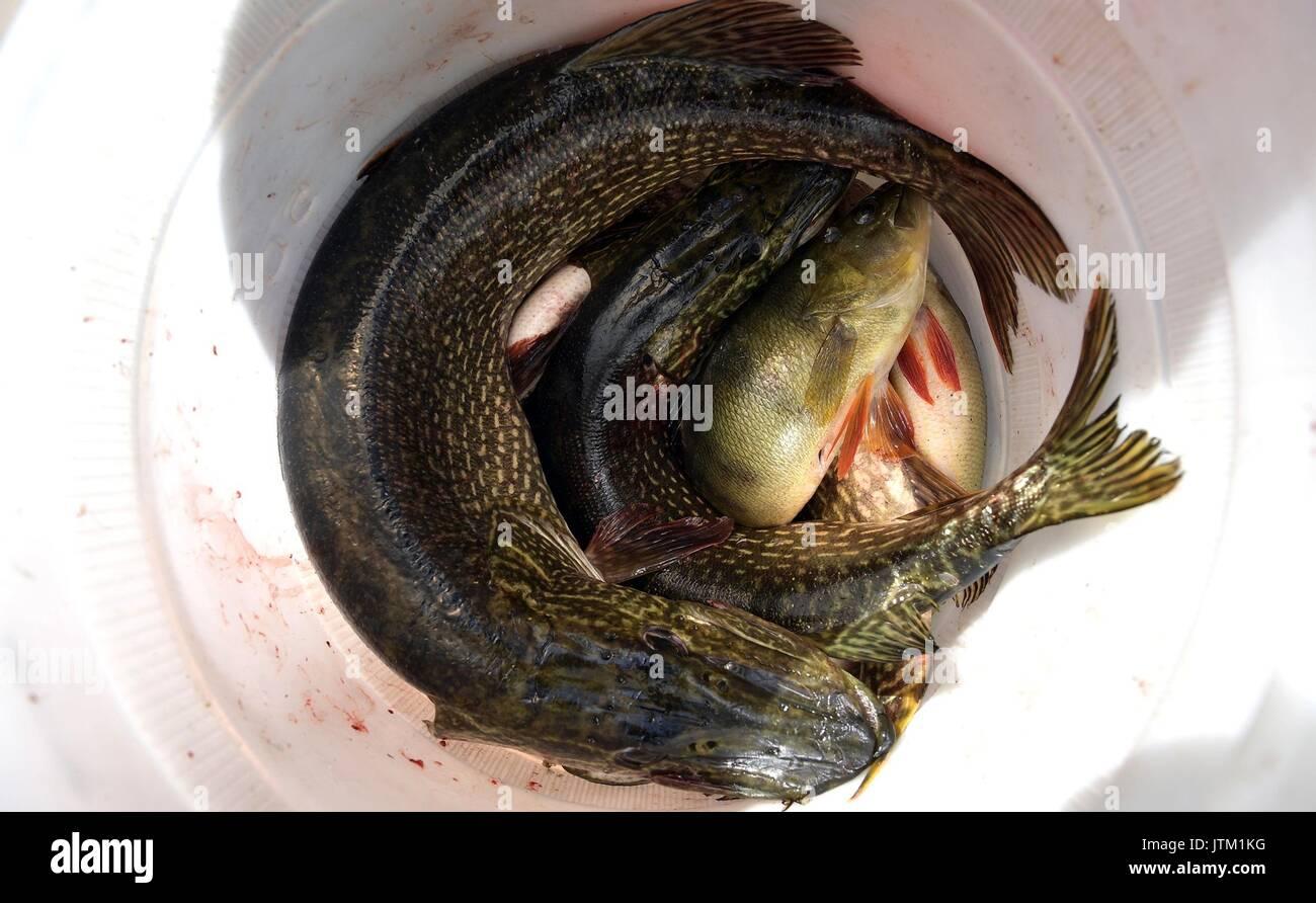 Putin fishing stock photos putin fishing stock images for Bucket of fish