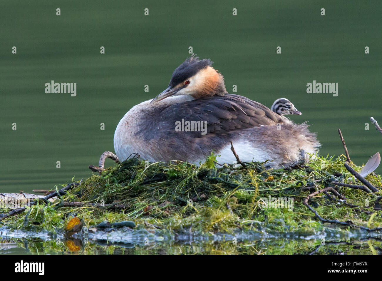 4-day old Great Crested Grebe (Podiceps cristatus) chick resting on its mother's back while she incubates the remaining unhatched eggs - Stock Image