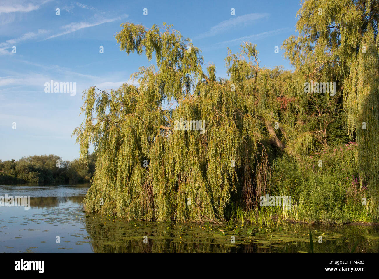 Weeping Willow (Salix babylonica) on the banks of the River Trent, Nottinghamshire - Stock Image