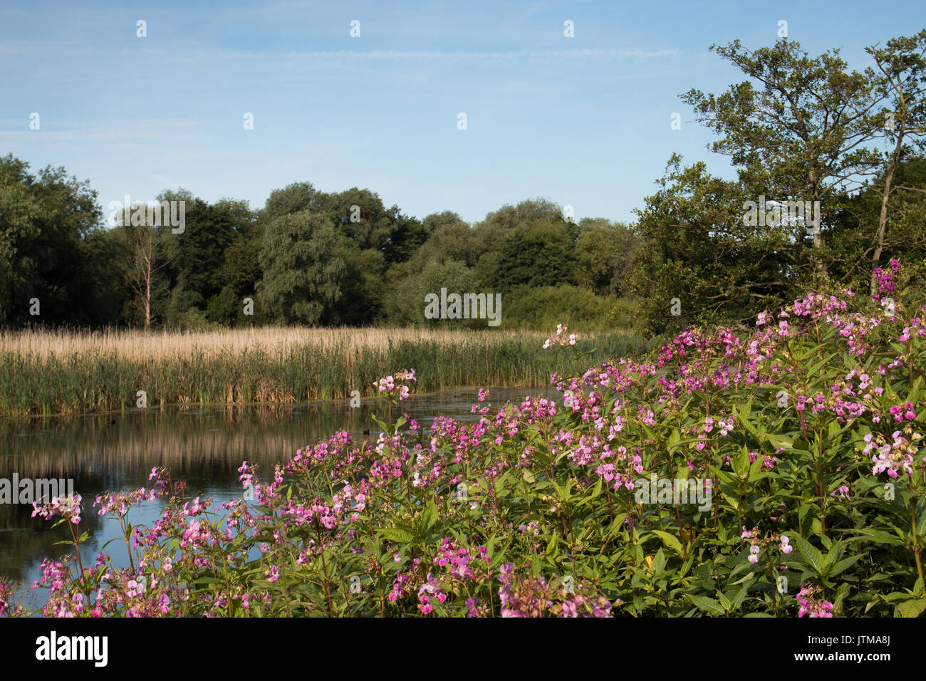 Indian Balsam (Impatiens glandulifera), an invasive species, on the bank of a disused gravel pit at Attenborough Nature Reserve, Nottinghamshire Stock Photo