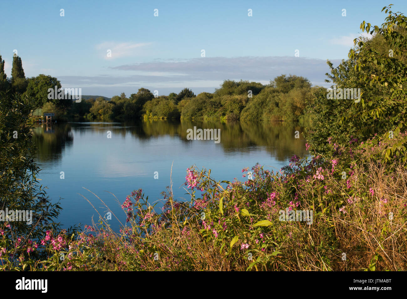 Himalayan Balsam (Impatiens glandulifera), an invasive species, on the banks of the River Trent, Nottinghamshire - Stock Image