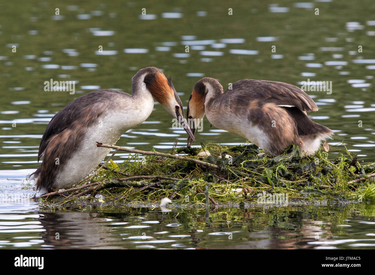 pair of Great Crested Grebes (Podiceps cristatus) changing over incubating duties - Stock Image