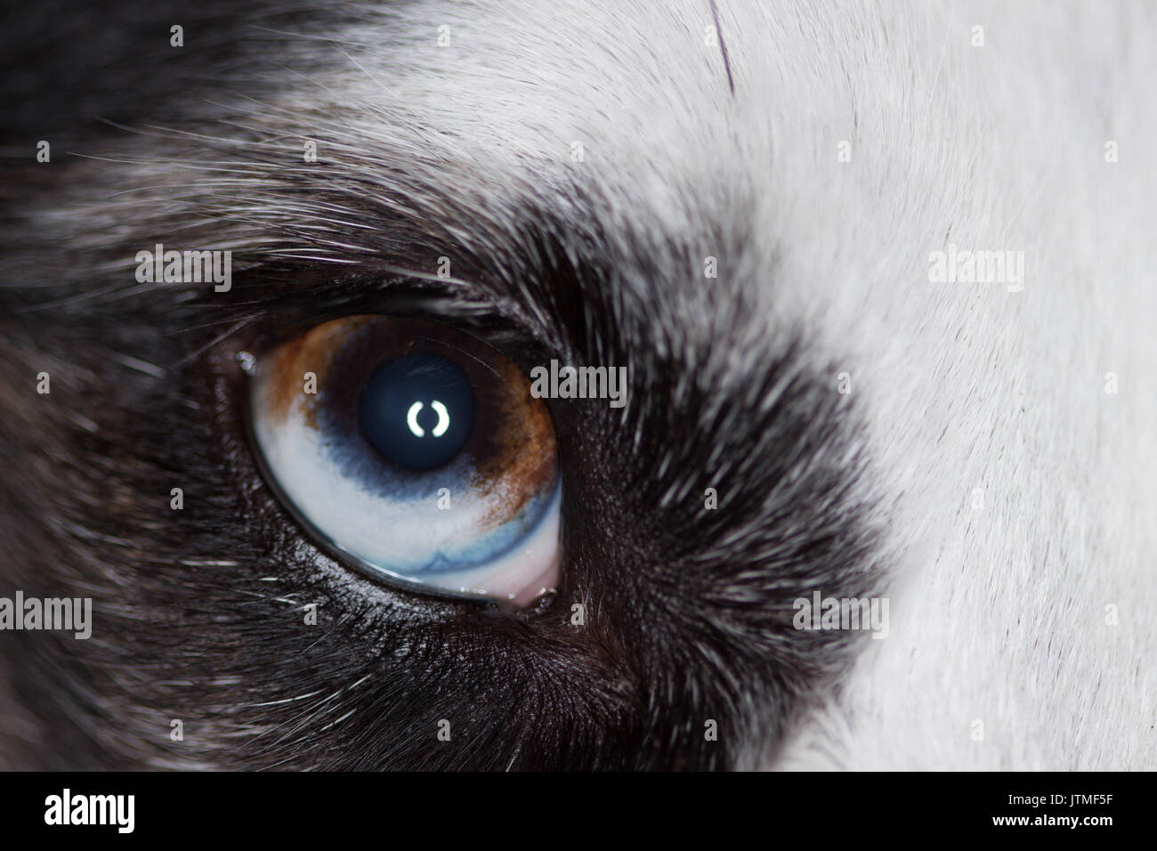 Collie sheep dog eye - Stock Image