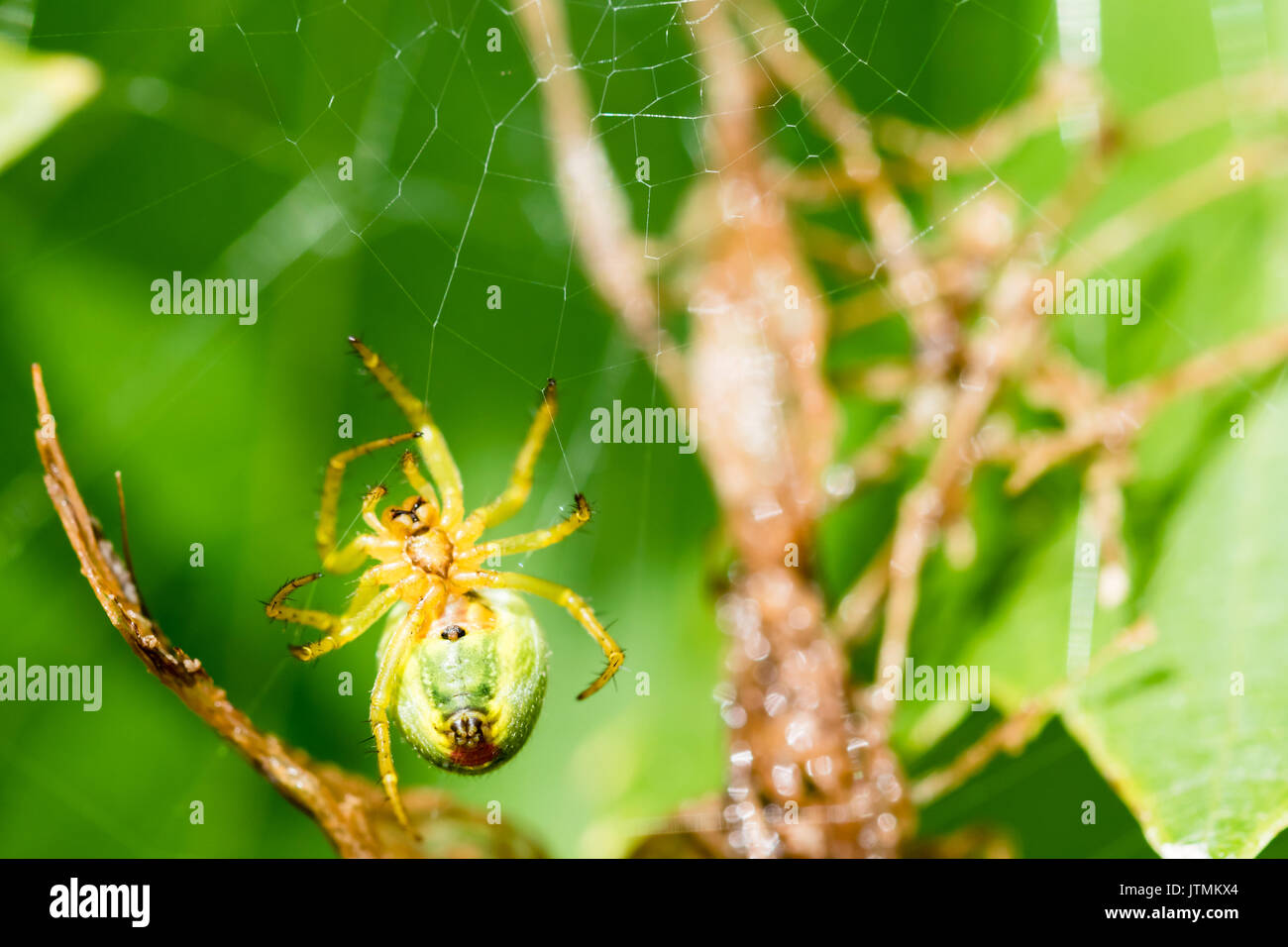 A small green spider (cucumber green spider - Araniella cucurbitina) on the web waits for a food. This spider is not poisonous for human. Smooth green - Stock Image