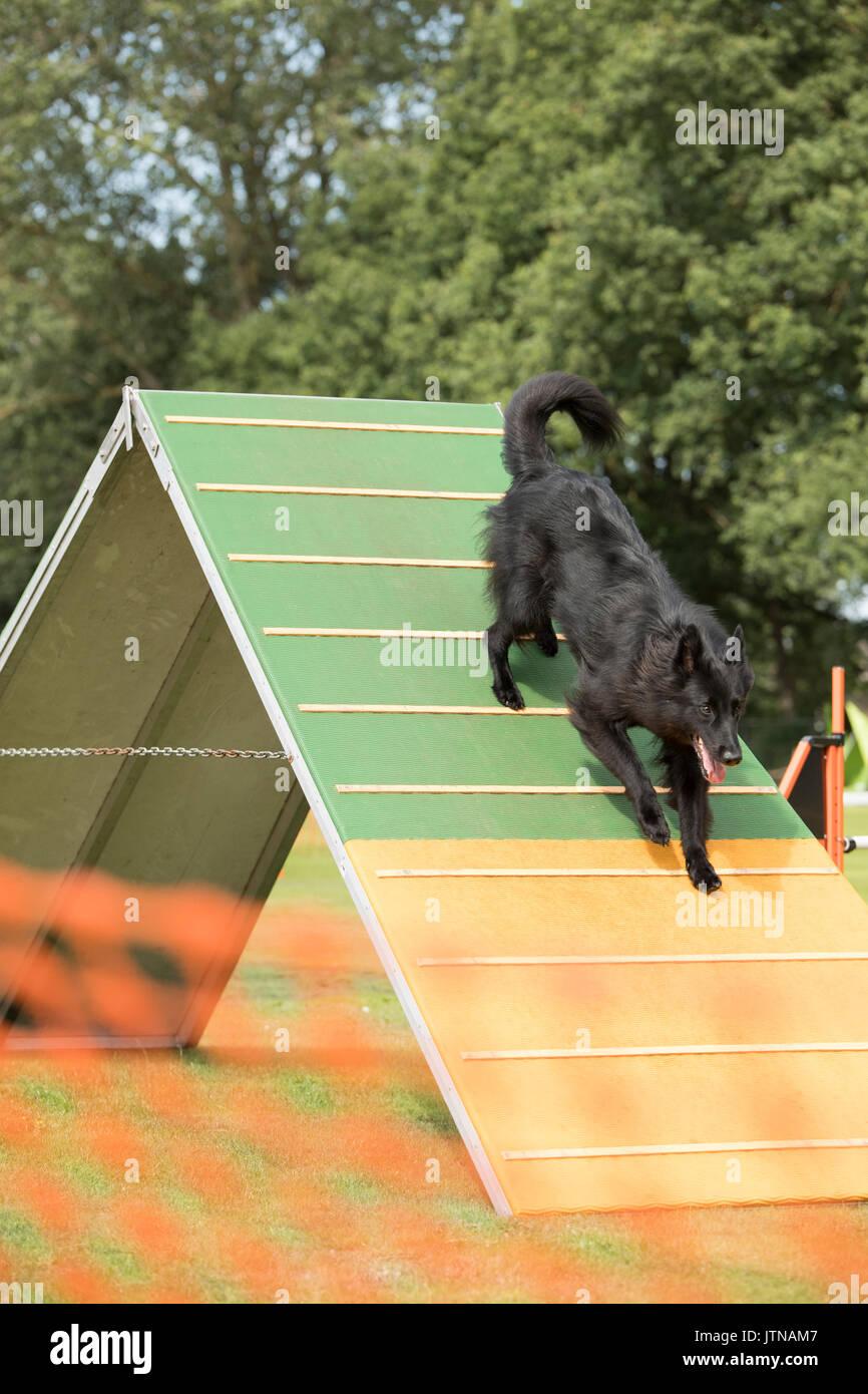 Dog, Belgian Shepherd Groenendael, running down agility a-frame ...