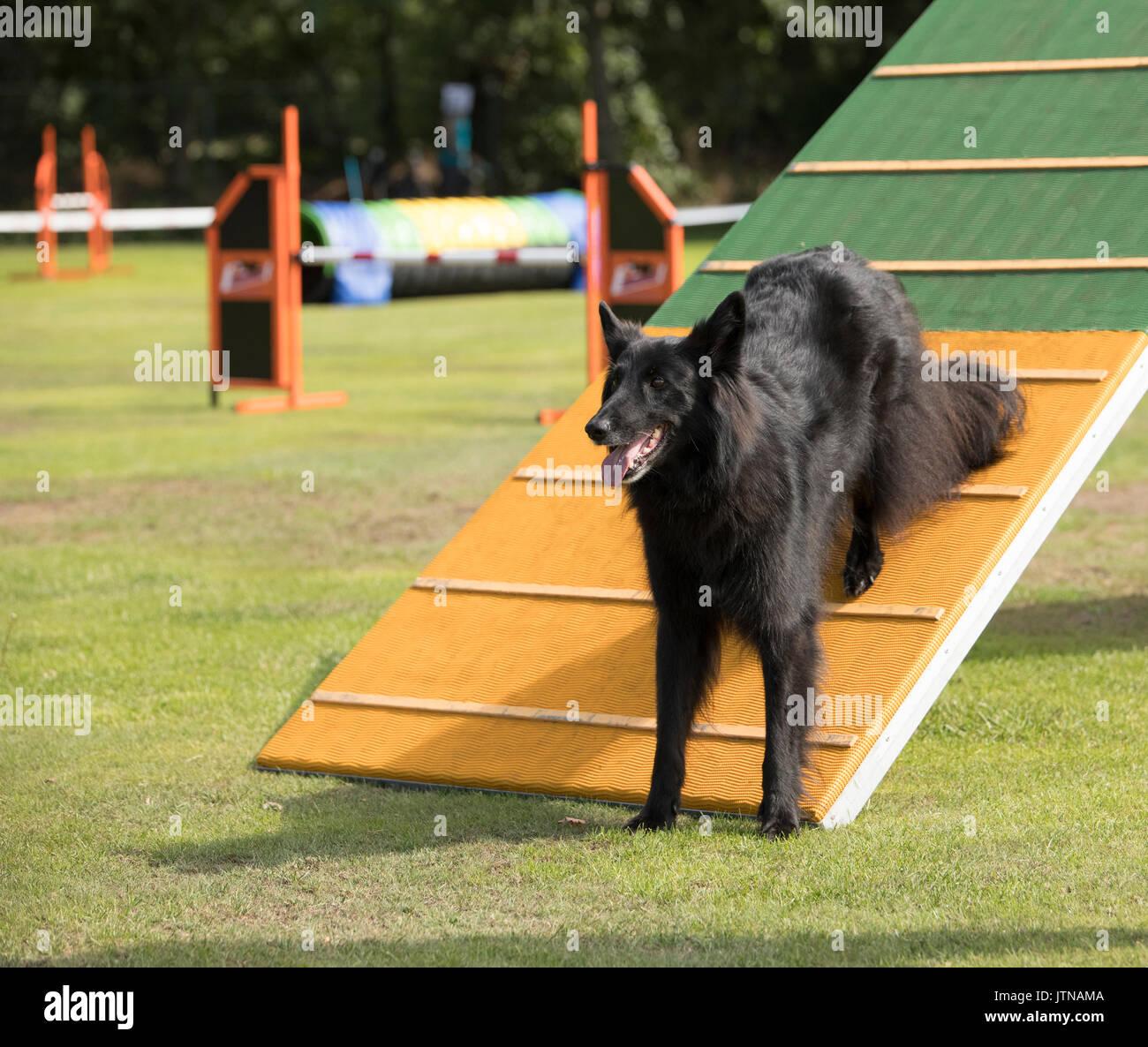 Dog, Belgian Shepherd Groenendael, agility a-frame Stock Photo ...