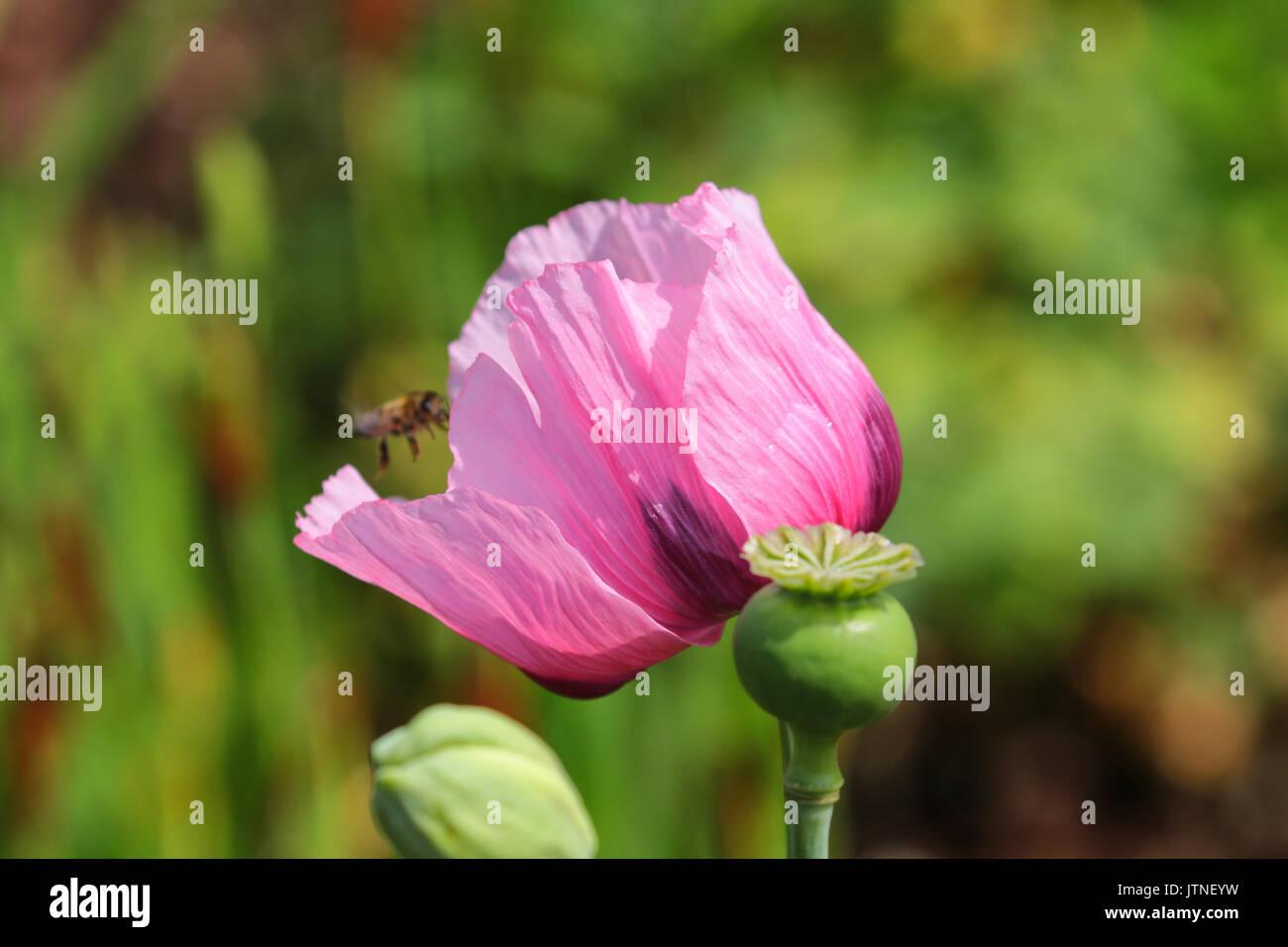 Pink Poppy Flower Stock Photos Pink Poppy Flower Stock Images Alamy