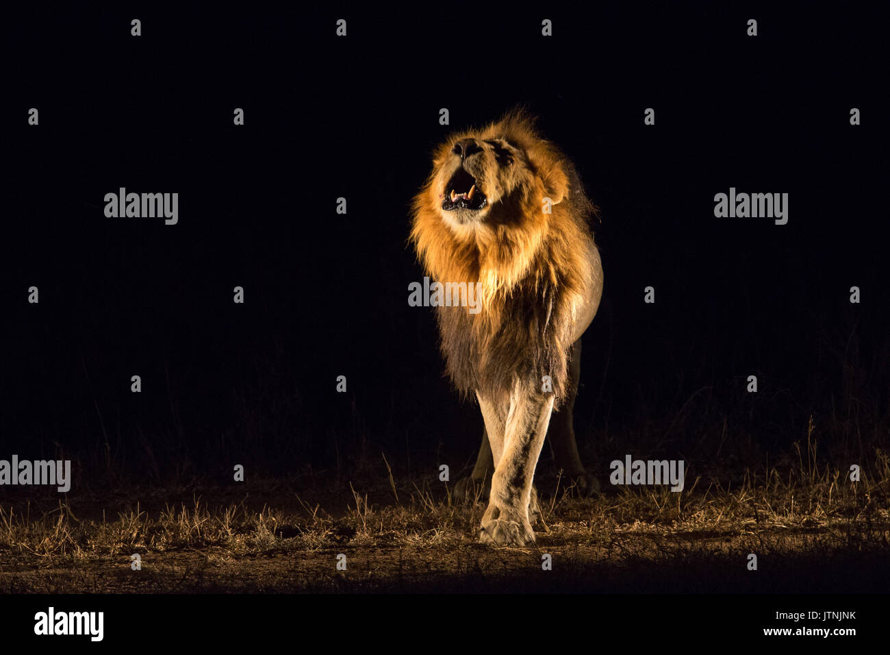 Frontal view of a male lion (Panthera leo) roaring at night - Stock Image