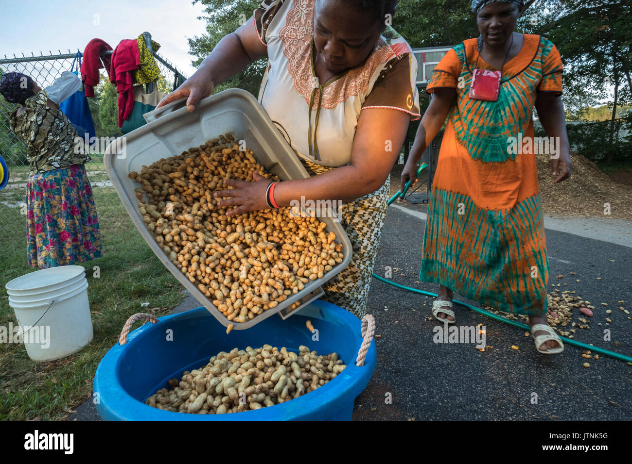 Refugees from Burundi harvested peanuts on an urban garden plot in Decatur, GA.  They sell their produce through Global Growers. - Stock Image
