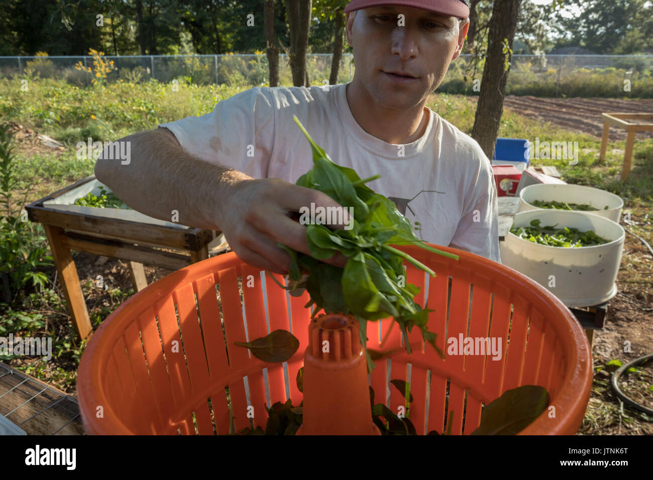 Harvesting Spinach Stock Photos Harvesting Spinach Stock Images Alamy
