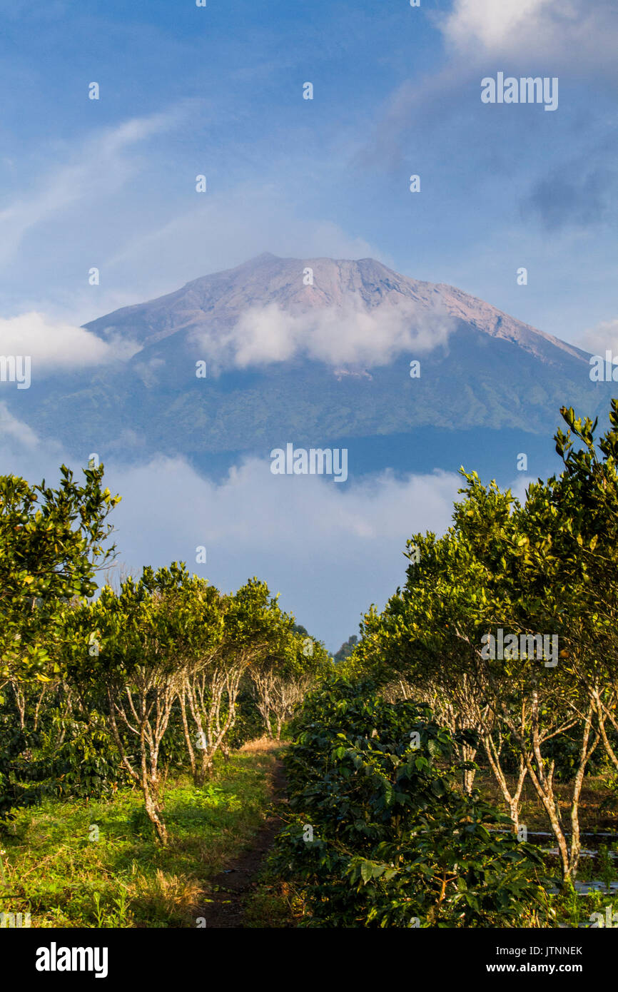 Long rows of coffee plants grow below the distant slopes of a volcano. Kerinci Valley, Sumatra, Indonesia - Stock Image