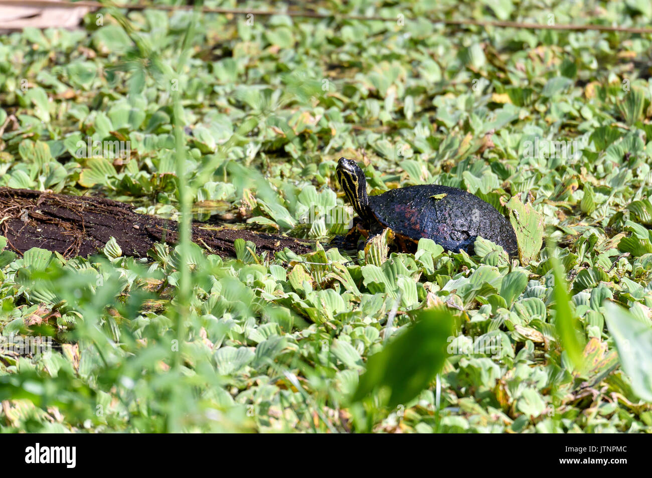 Florida red-bellied cooter (pseudemys nelsoni),  Corkscrew Swamp Sanctuary, Florida, USA Stock Photo