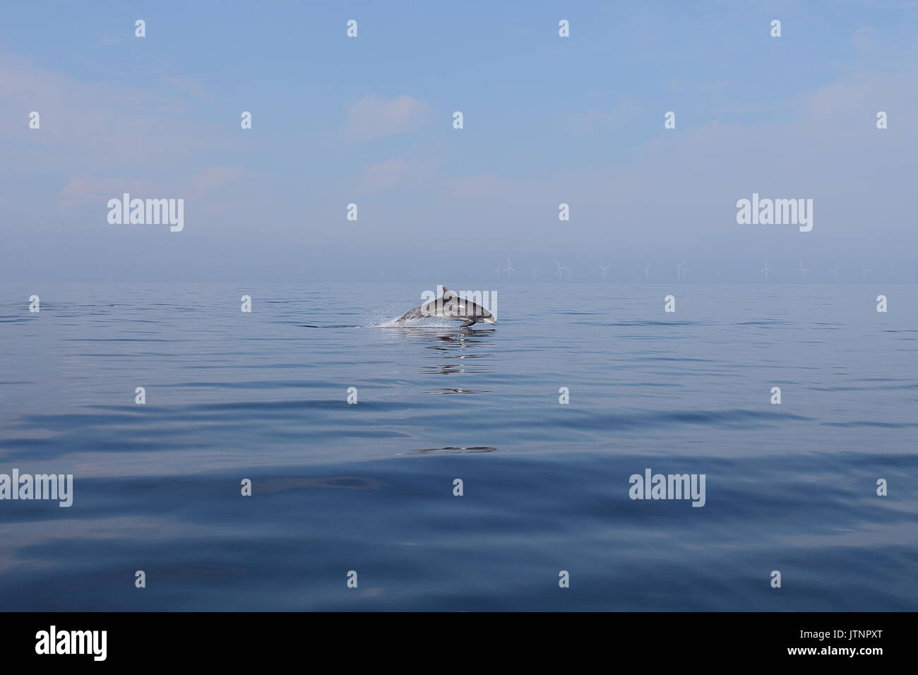 Wild Bottle-nose Dolphin leaping out of a flat calm blue sea on a sunny day at Prestatyn North Wales. - Stock Image