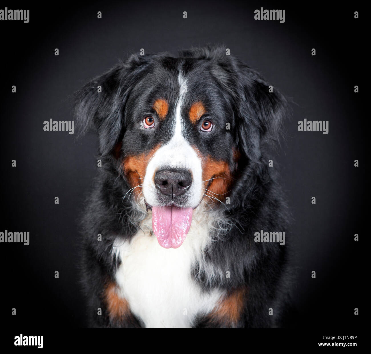 a Bernese Mountain dog sits and looks at the camera, background black - Stock Image
