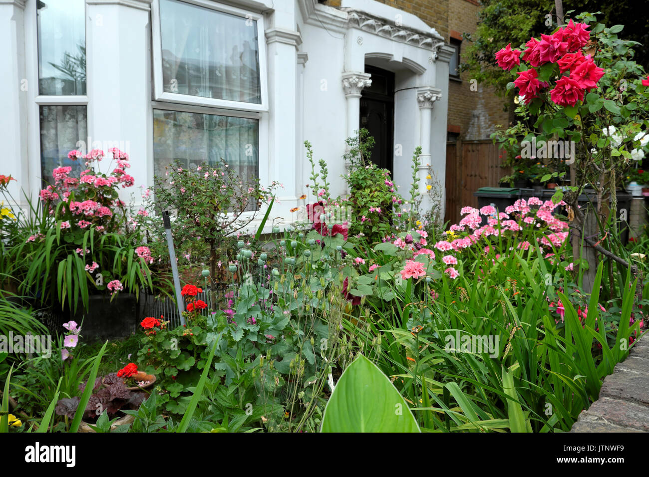 A beautiful flower garden roses, geraniums, hollyhocks in bloom in front of a house in West Green Road, Seven Sisters, North London N 15 - Stock Image