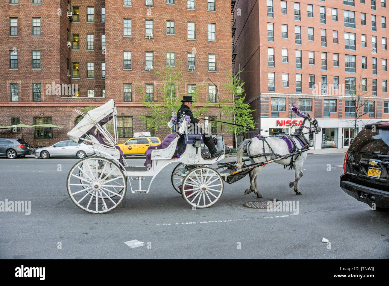 white Central Park hansom cab jaunty top-hatted driver plumed white horse returning to barn along Eleventh avenue to 52nd Street New York City USA - Stock Image