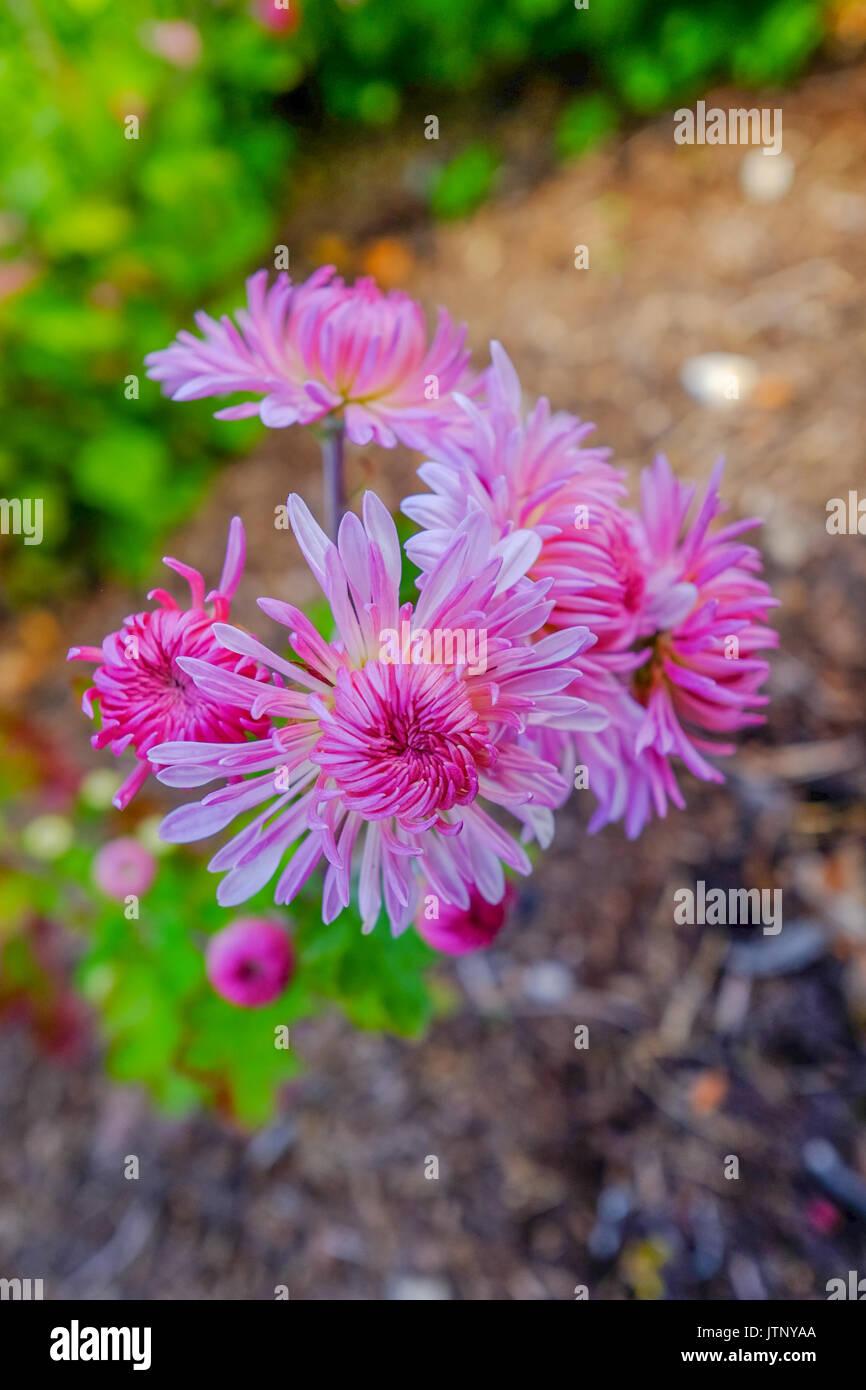 pink magenta flowers - Stock Image
