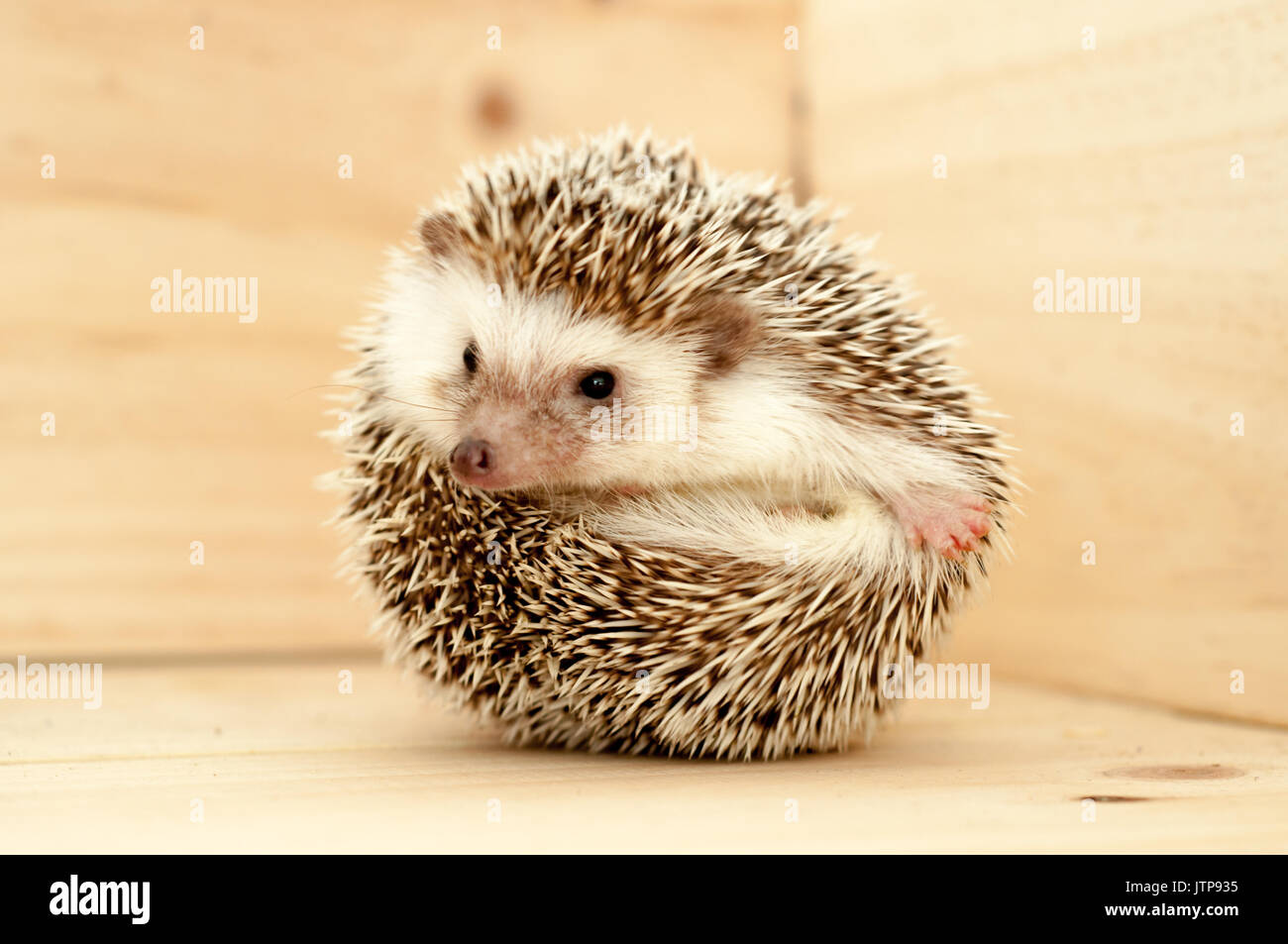Hedgehog's various movements on wooden background - Stock Image