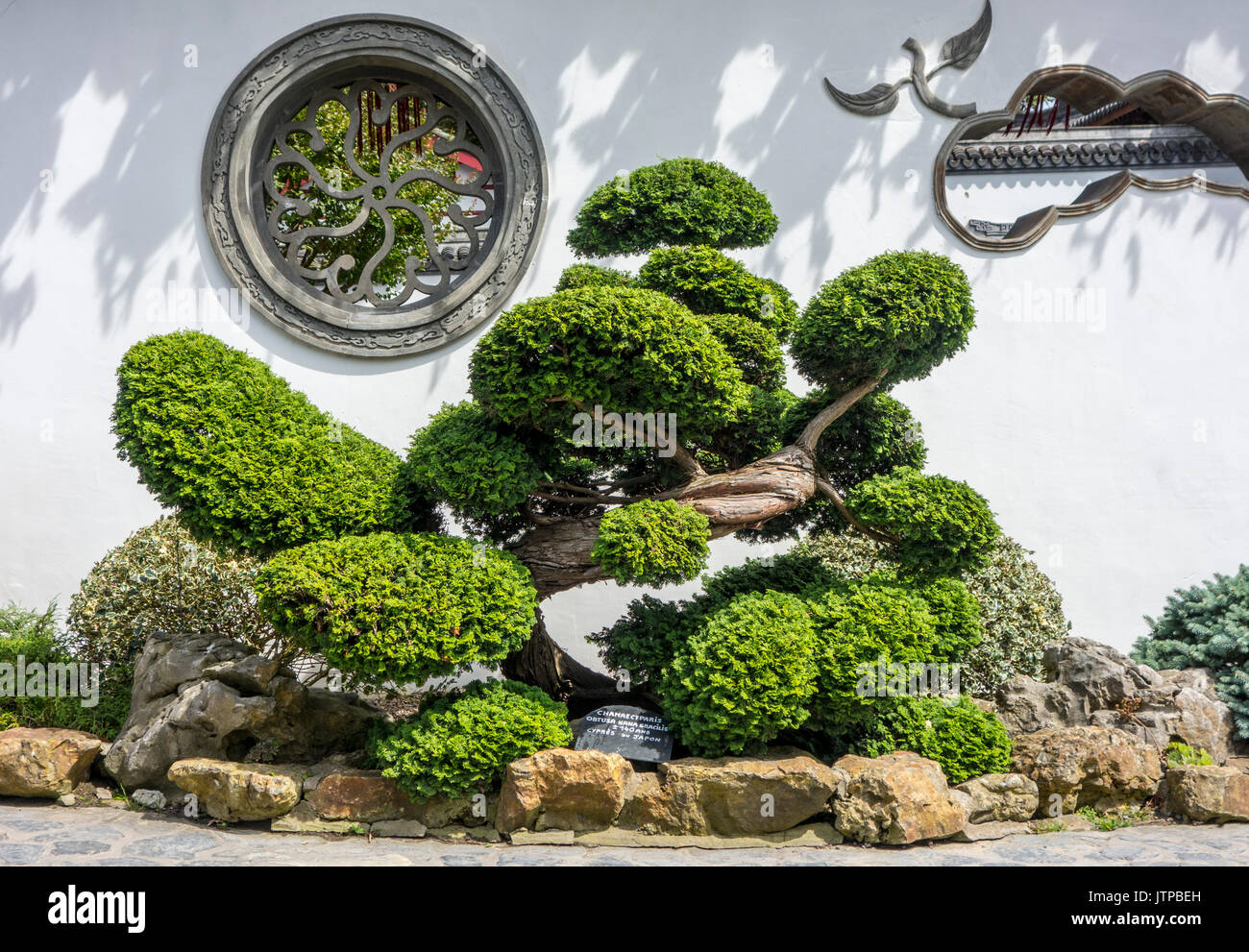 140 year old Hinoki cypress / hinoki false cypress / dwarf hinoki cypress bonsai tree Chamaecyparis obtusa Nana - Stock Image