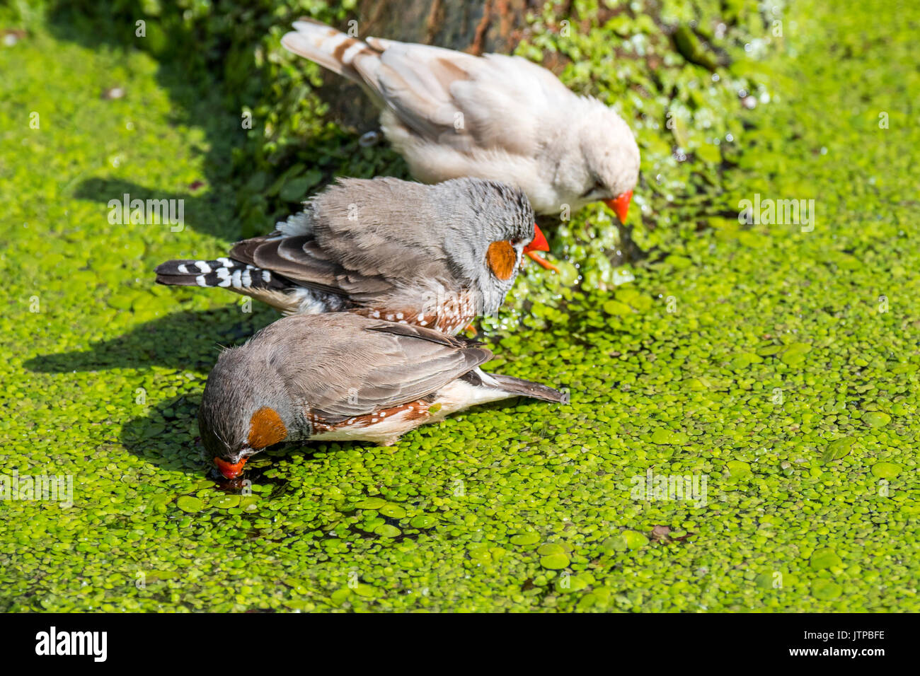 Three zebra finches (Taeniopygia guttata / Poephila guttata) native to Australia cooling down and drinking water from pond on a hot day - Stock Image