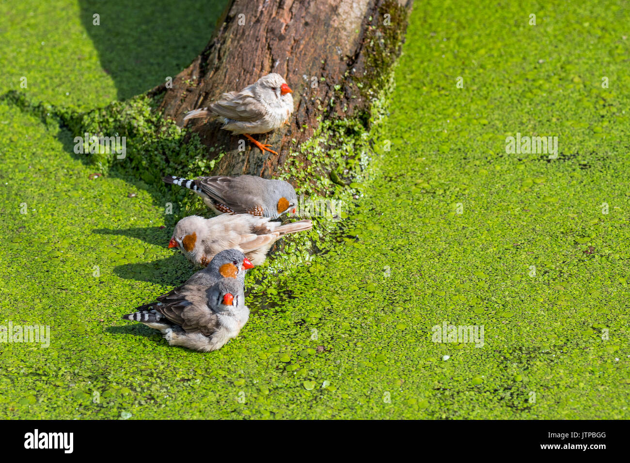 Male and female zebra finches (Taeniopygia guttata / Poephila guttata) native to Australia bathing and drinking water from pond on a hot day - Stock Image