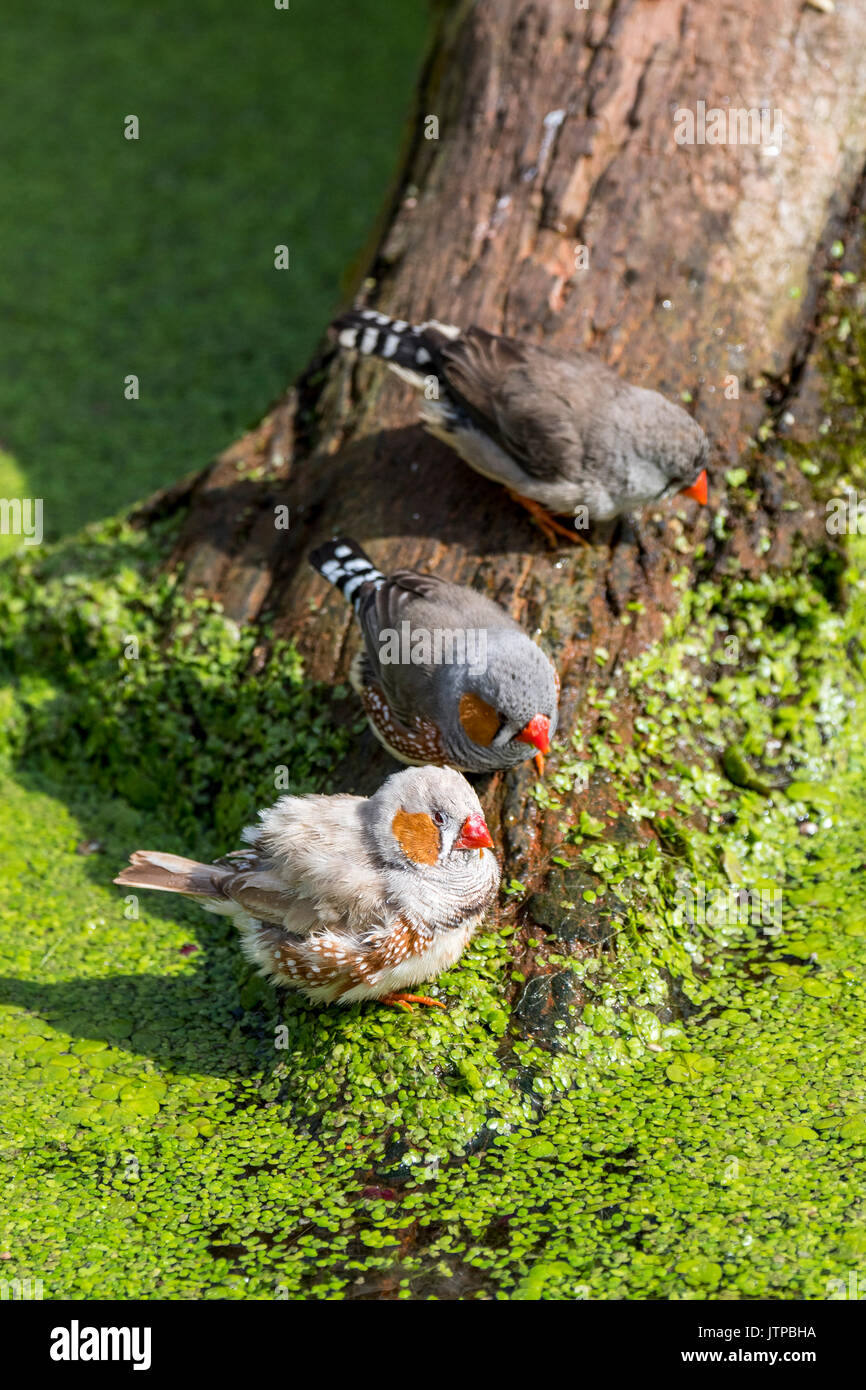 Male and female zebra finches (Taeniopygia guttata / Poephila guttata) native to Australia coming to drink water of pond on a hot day - Stock Image