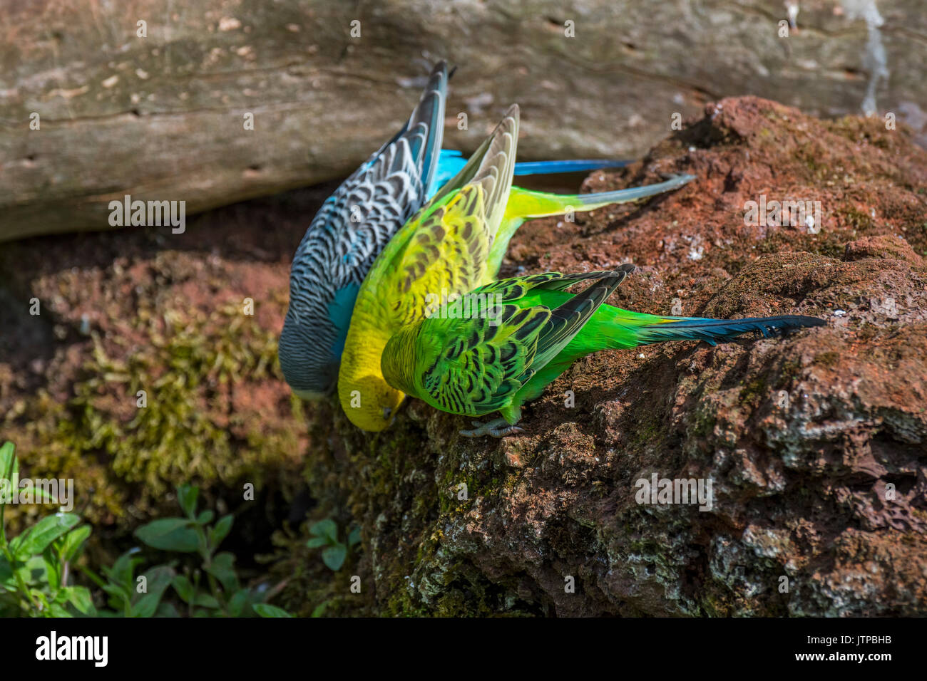 Colourful budgerigars / budgies / common parakeets (Melopsittacus undulatus) native to Australia eating minerals from rock - Stock Image