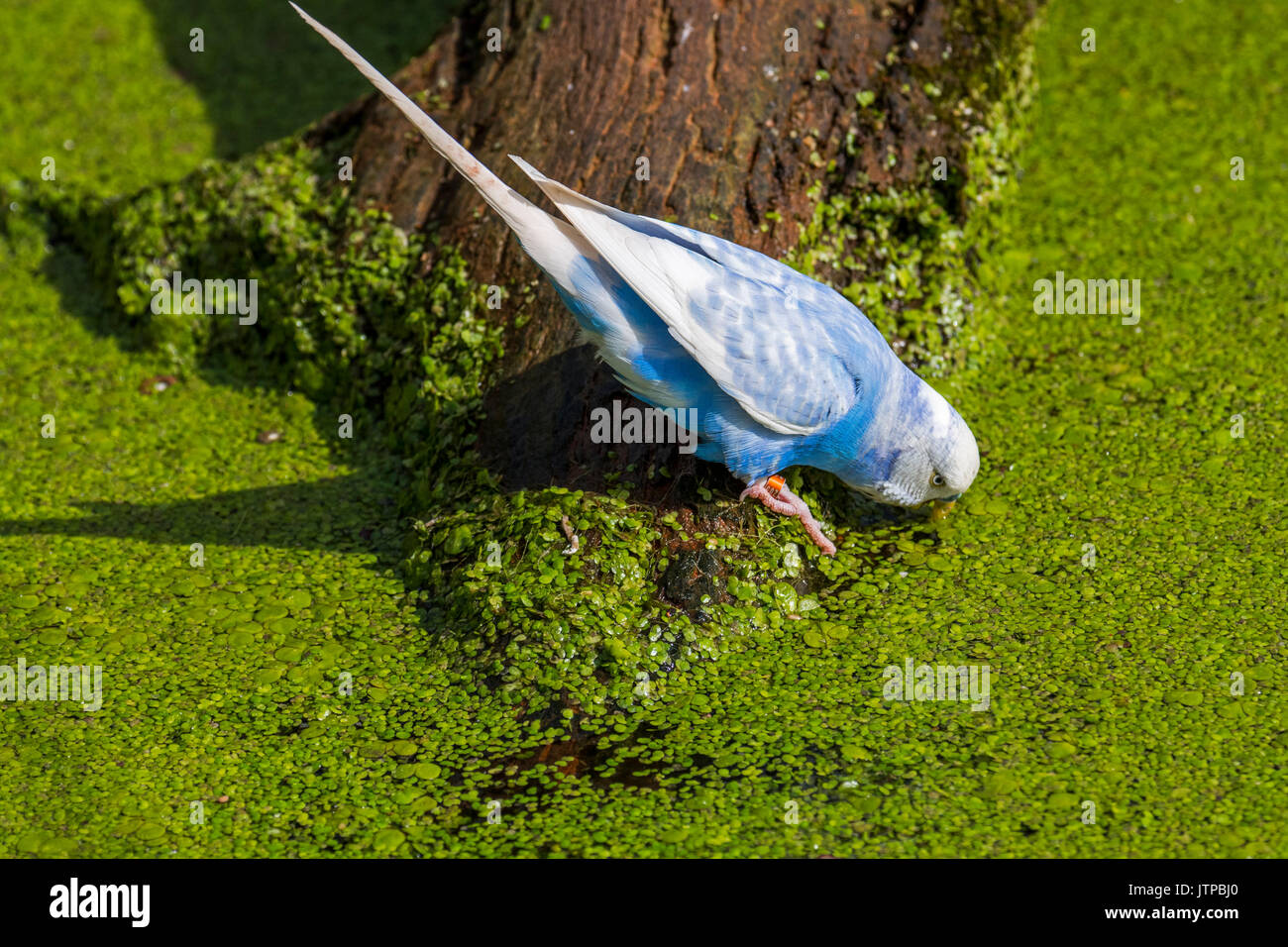 Blue budgerigar / budgie / common parakeet (Melopsittacus undulatus) native to Australia drinking water of pond on a hot day - Stock Image