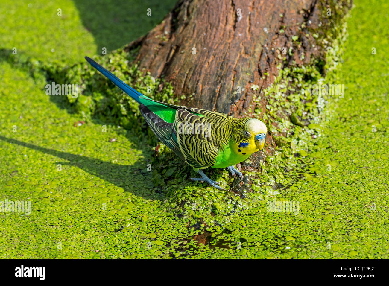 Colourful budgerigar / budgie / common parakeet (Melopsittacus undulatus) native to Australia drinking water of pond on a hot day - Stock Image