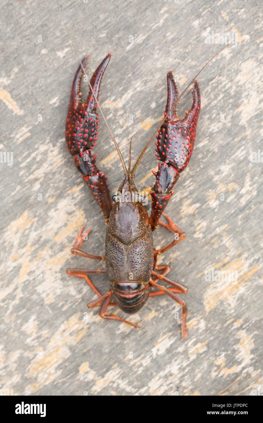 Live Crawfish Stock Photo: 152928452 - Alamy