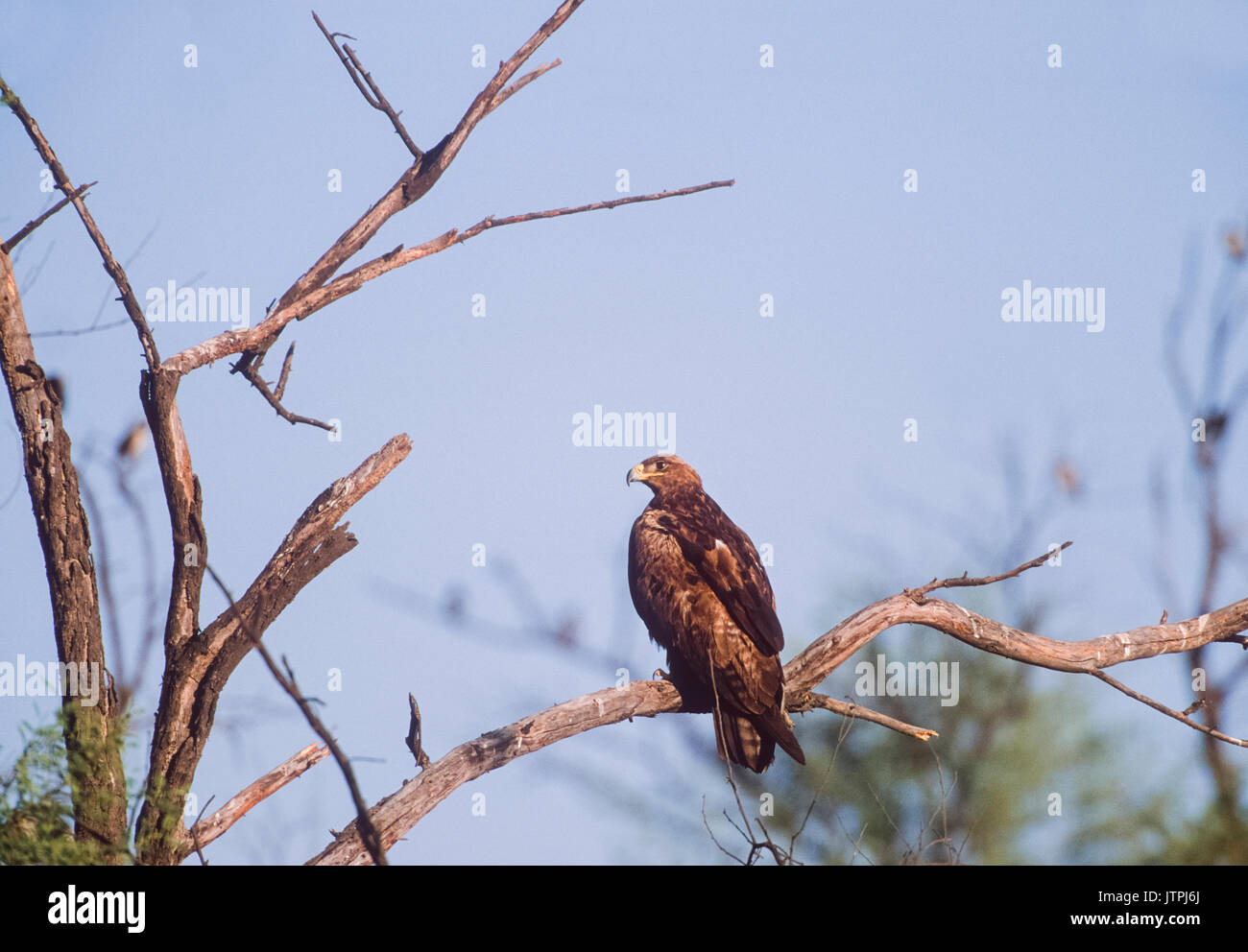 Steppe Eagle,(Aquila nipalensis), perched in tree, Keoladeo Ghana National Park, Bharatpur, Rajasthan, India - Stock Image