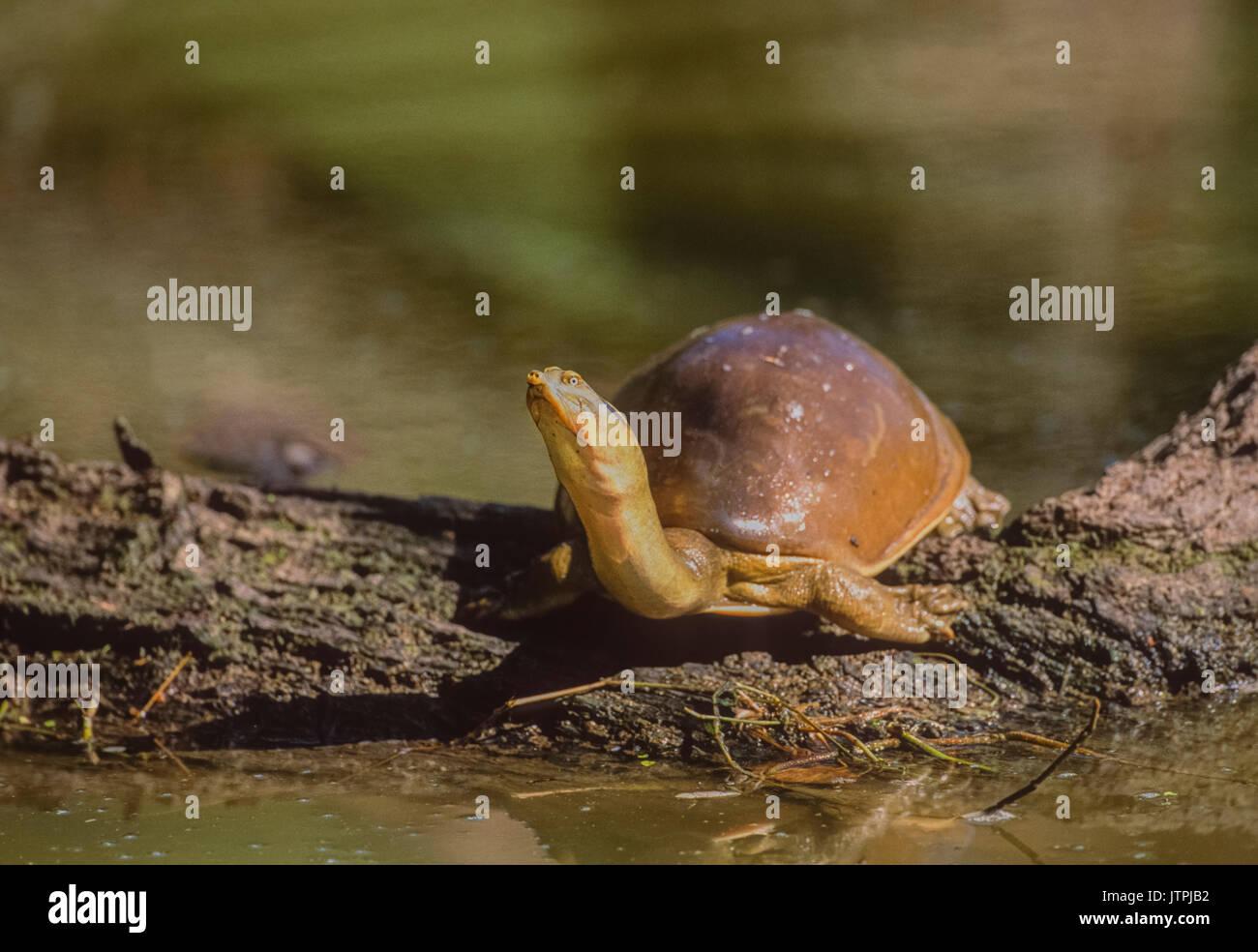 Indian flapshell turtle (Lissemys punctata) Keoladeo Ghana National Park, Bharatpur, Rajasthan, India Stock Photo