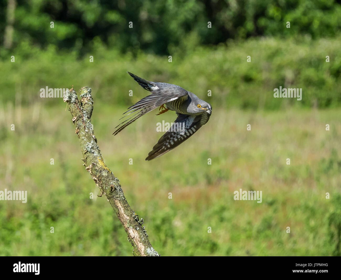 Cuckoo (Cuculus canorus) in flight at Thursley common, Surrey, England, UK - Stock Image
