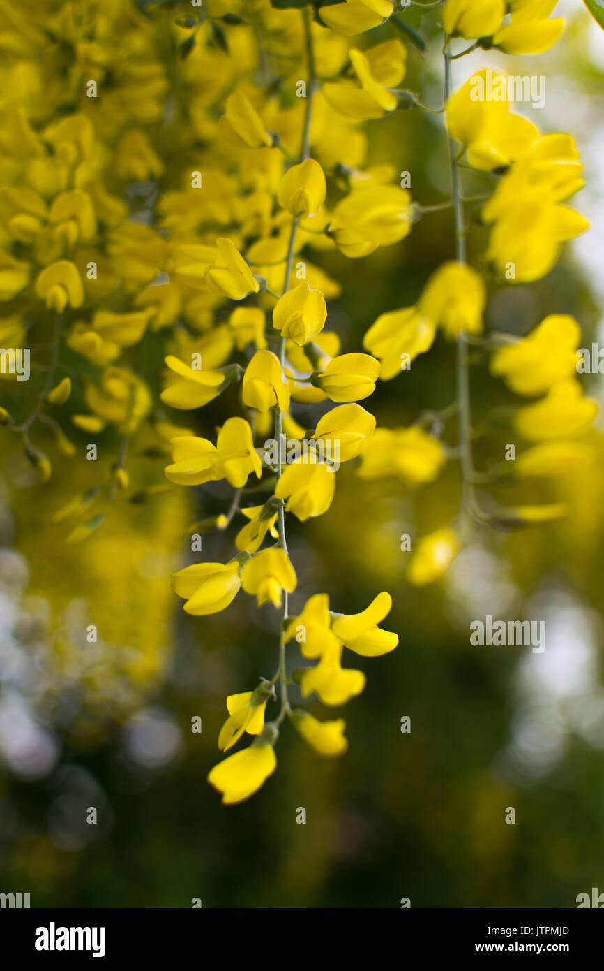 Some Yellow Hanging Flowers With A Blurred Bokeh Background Stock
