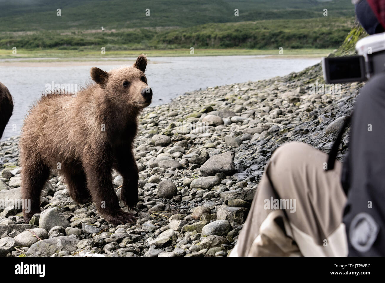 A curious brown bear cub checks out human visitors during a close encounter bear viewing at the McNeil River State Game Sanctuary on the Kenai Peninsula, Alaska. The remote site is accessed only with a special permit and is the world's largest seasonal population of brown bears in their natural environment. - Stock Image