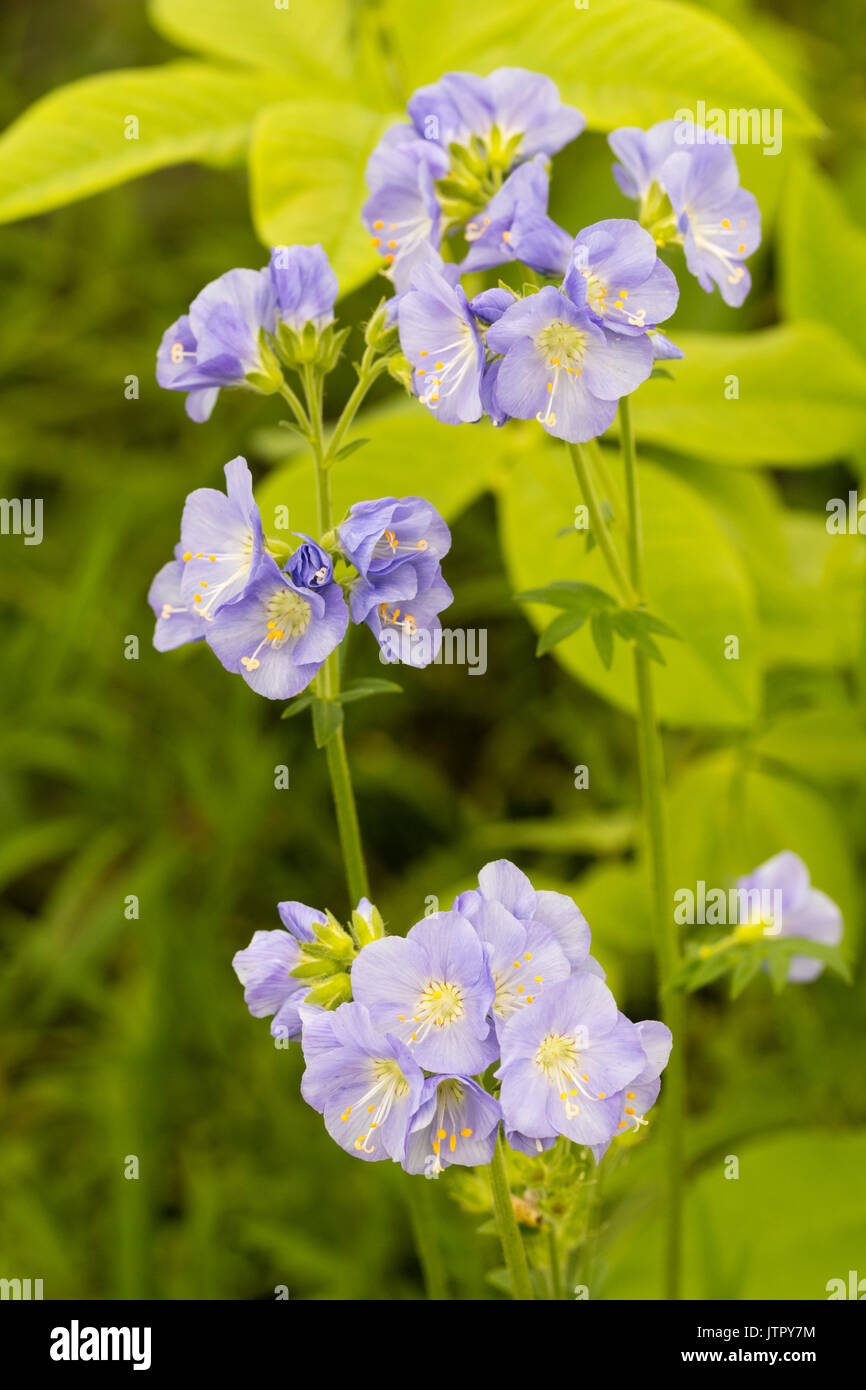 Pale blue summer flowers of the hardy perennial, Polemonium 'Northern Lights' - Stock Image