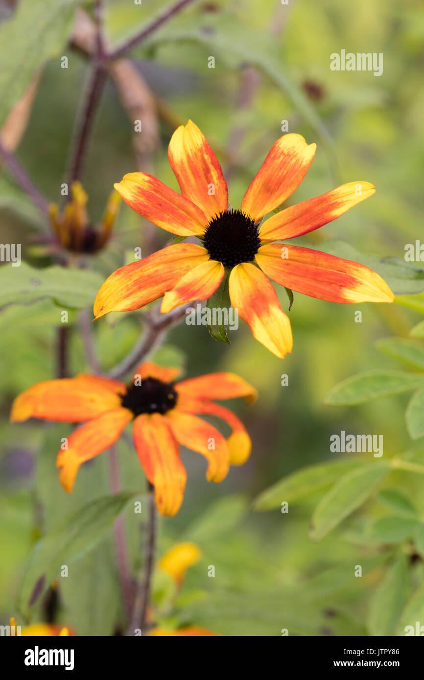 Dark centred flower of the hardy, summer to autumn flowering perennial, Rudbeckia triloba 'Prairie Glow' - Stock Image