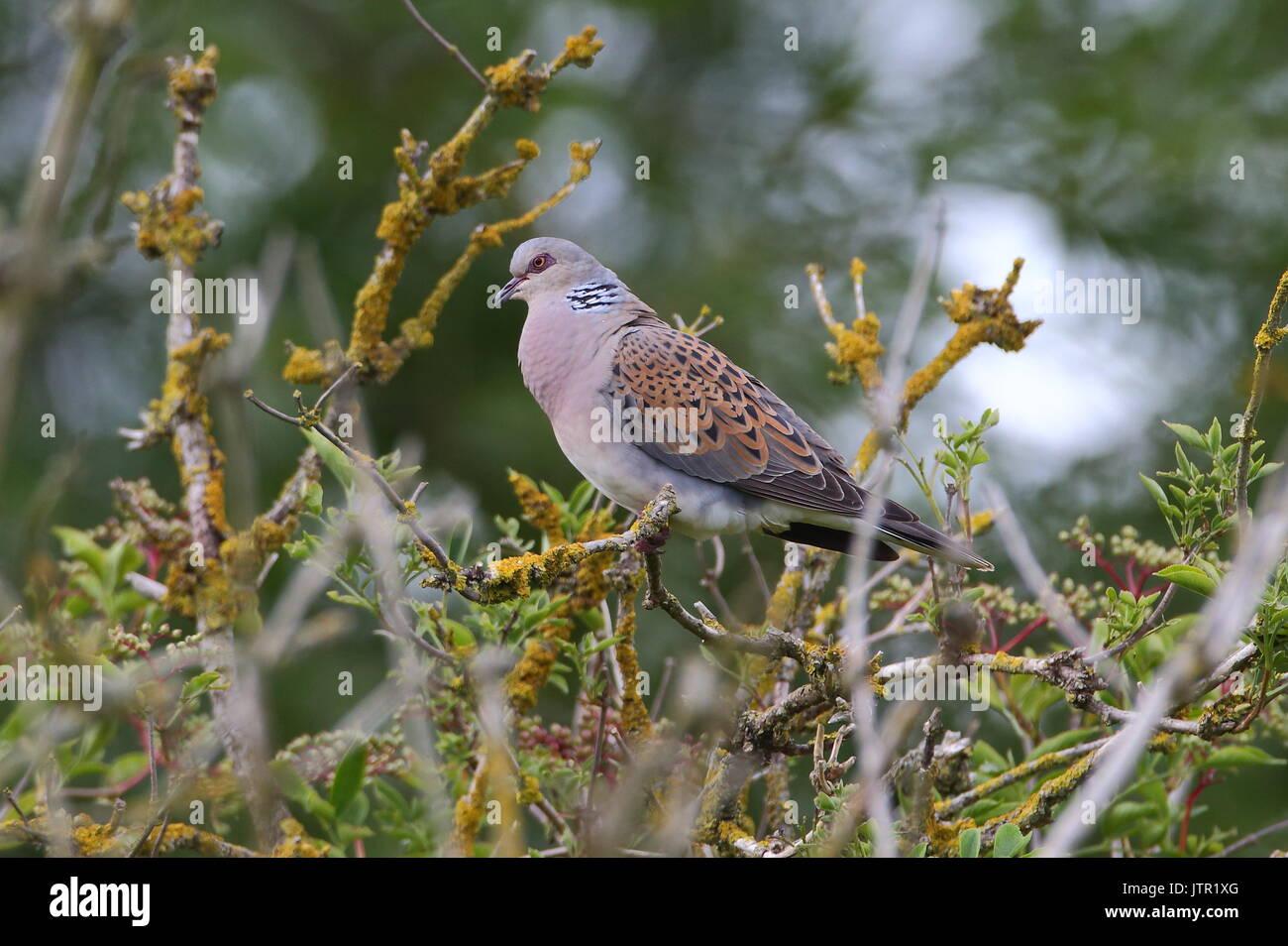 Adult Turtle Dove - Stock Image
