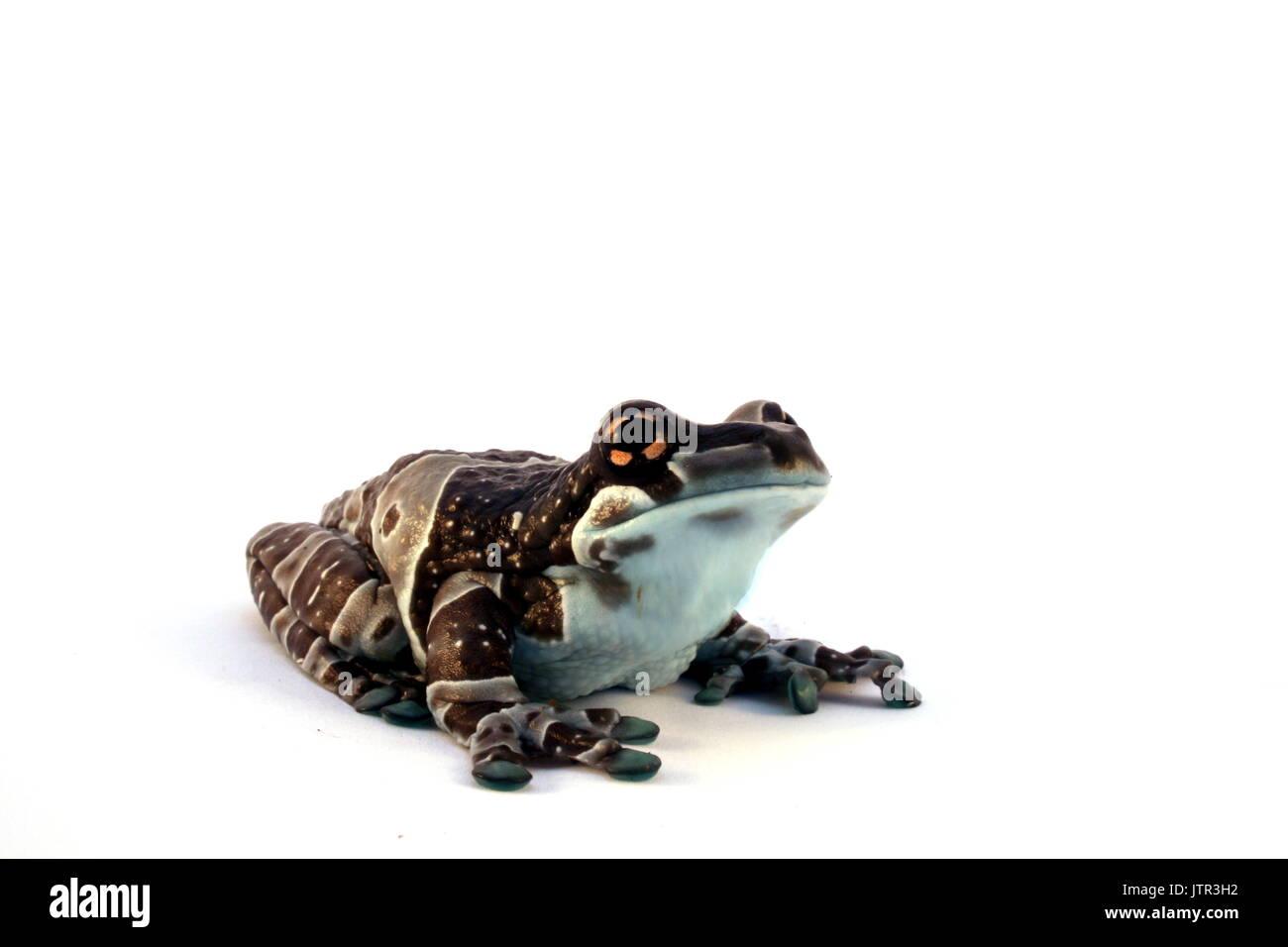 Amazon Milk Frog, Trachycephalus resinifictrix, Mission golden-eyed tree frog, Amazonian Treefrog on White Background, Brazil, Captive - Stock Image
